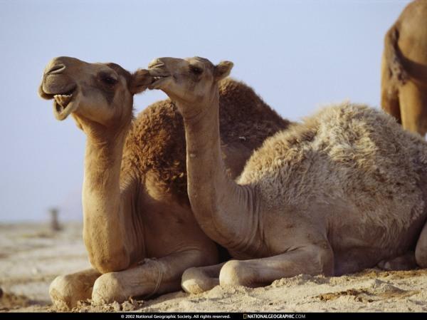 camel-bite-430790-lw
