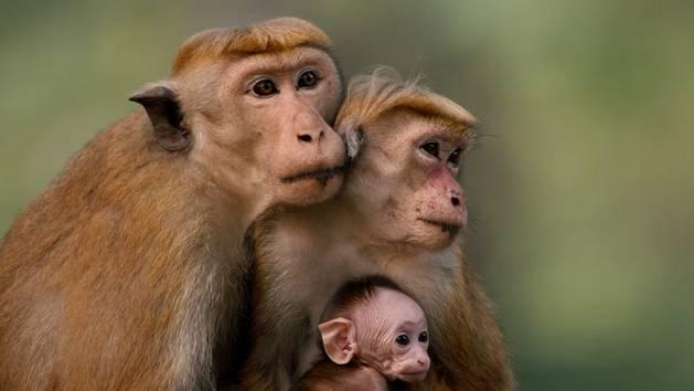 Monkey Kingdom Baby Monkey Monkey Kingdom Kumar Maya And