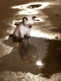 kitten lion